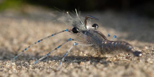 An up-side-shrimp tied by Jonatan Ternald on NS150