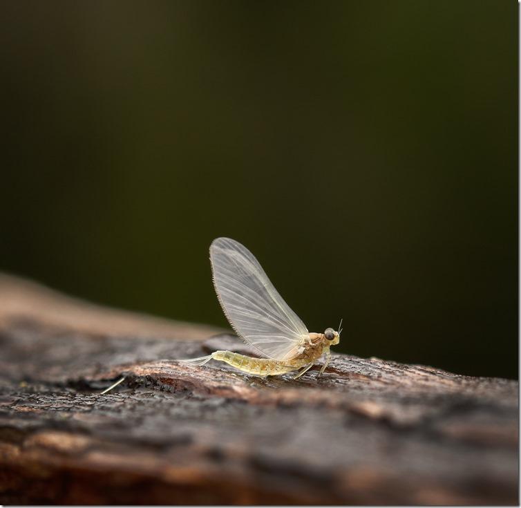 Mayfly - Dun-02