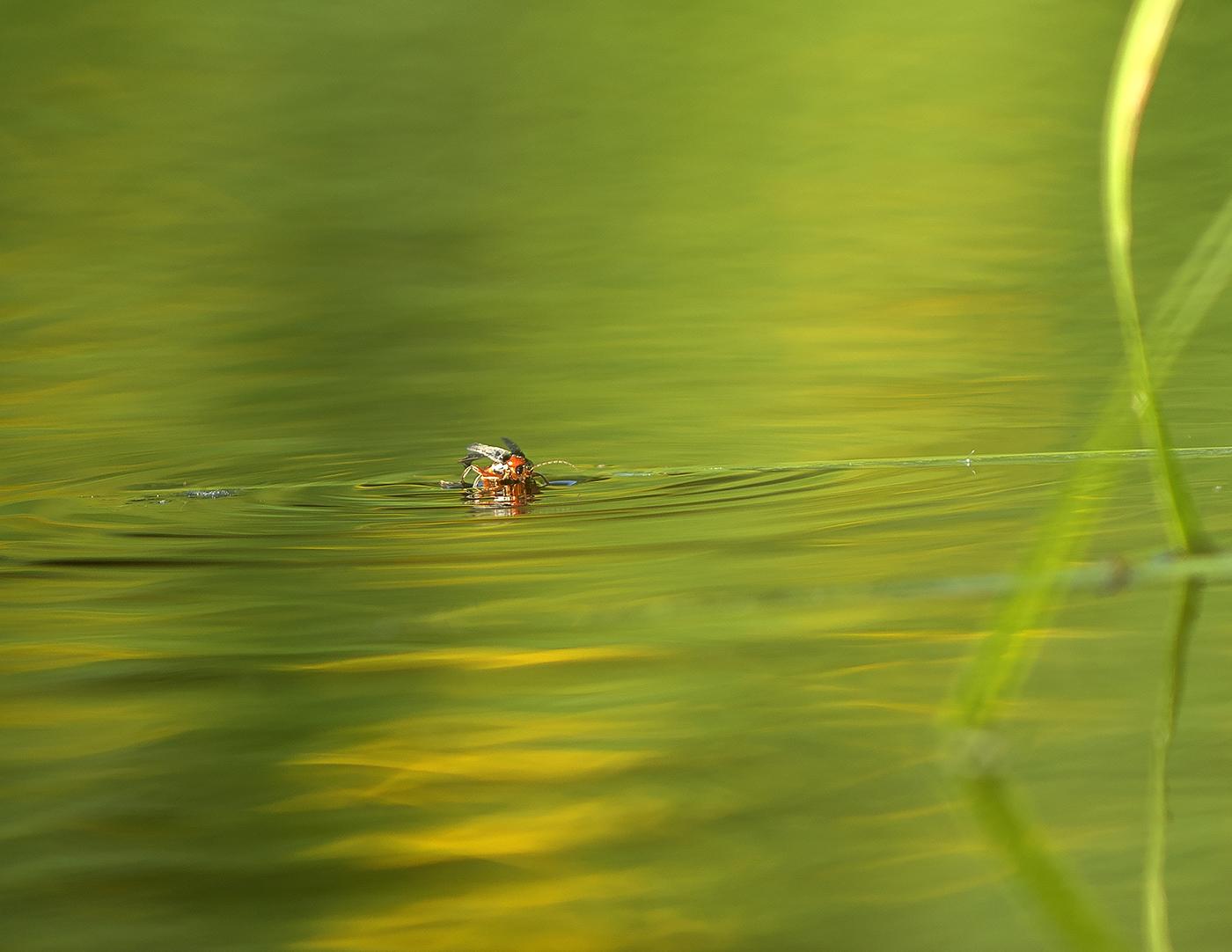 Red Beetle - Ahrex Pond 18-05-01
