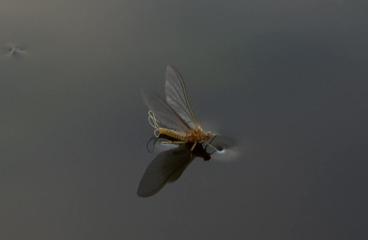 Mayfly - Dun-Newly hatched