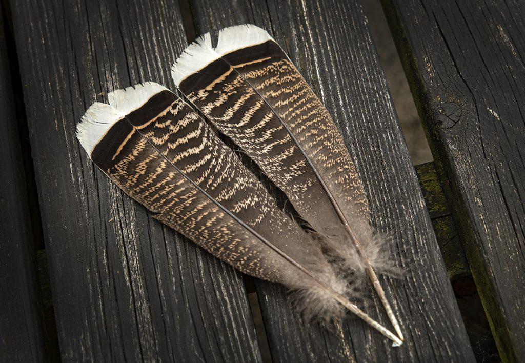 Turkey Feathers-01