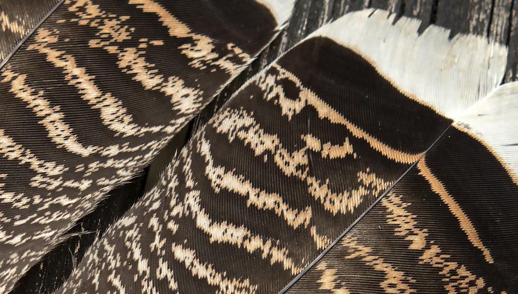 Turkey Feathers-01b
